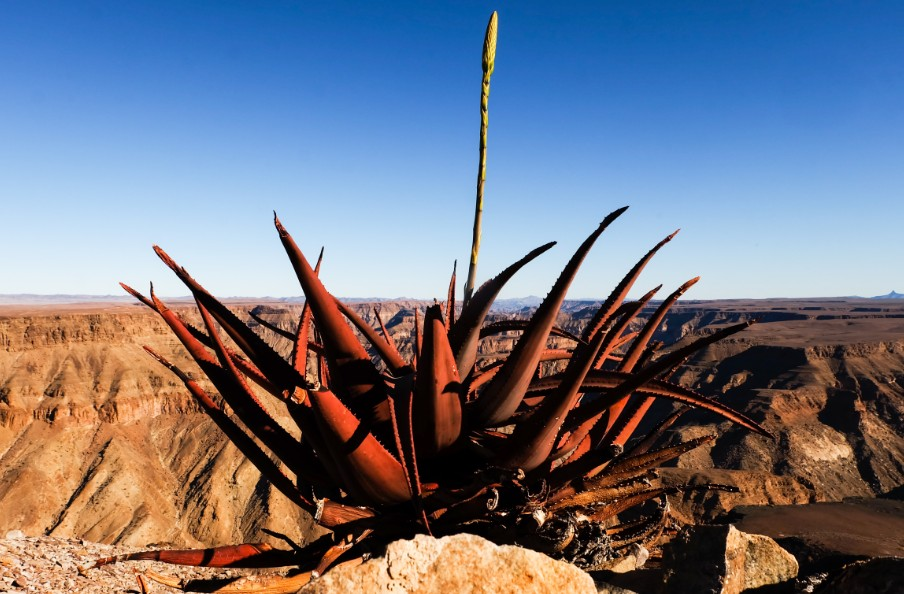 fish river canyon aloe namibia