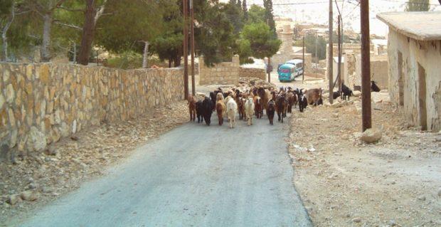 giordania dana pecore