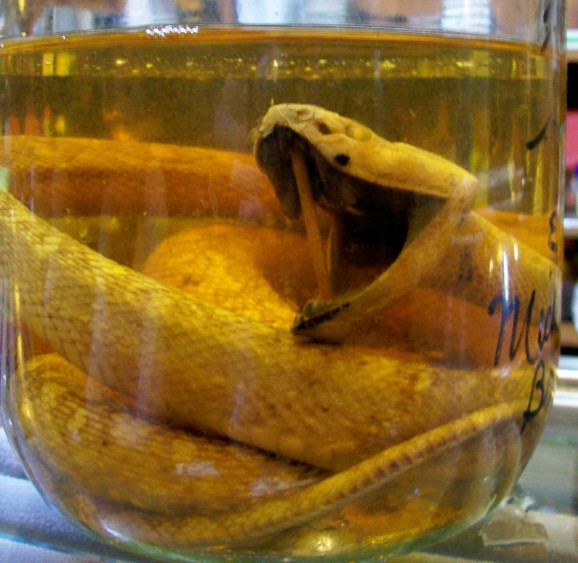 habushu serpente giappone liquore