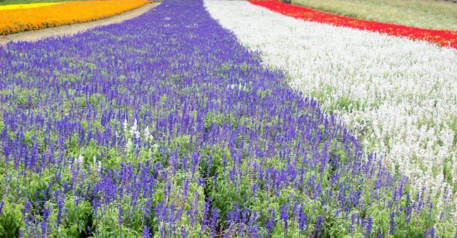 Giappone: i fiori dell'Hokkaido