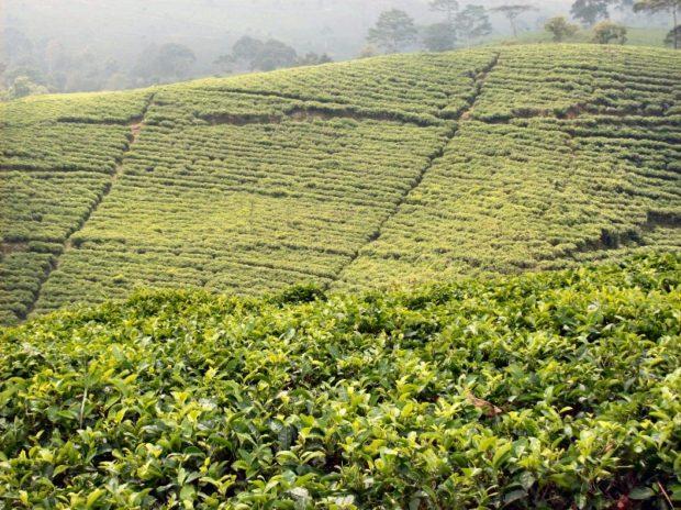 indonesia giava piantagione di the