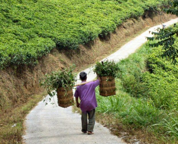 indonesia giava piantagion