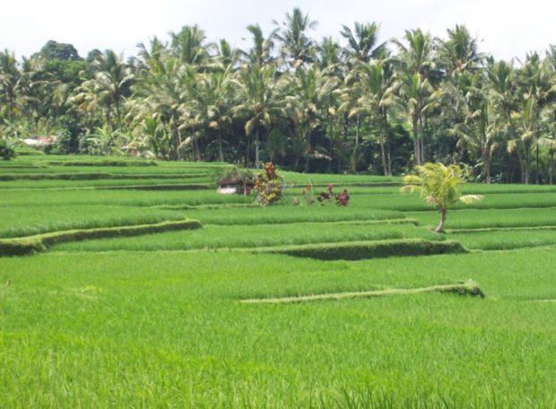 indonesia risaia bali