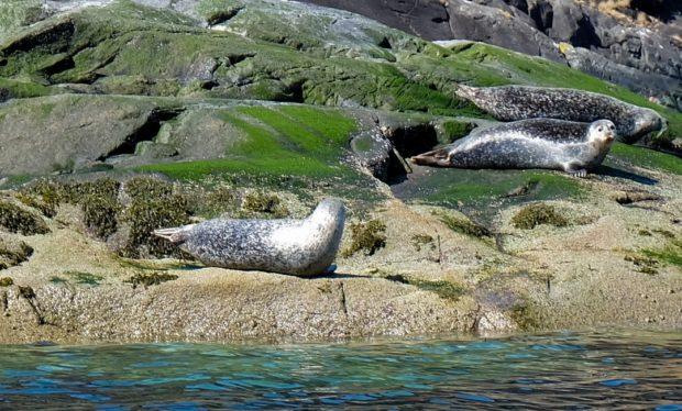 isola di skye scozia foche