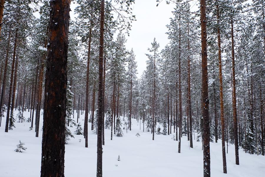 lapponia inverno oulanka taiga