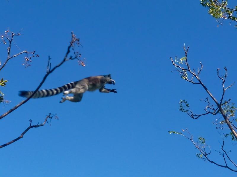madagascar lemure