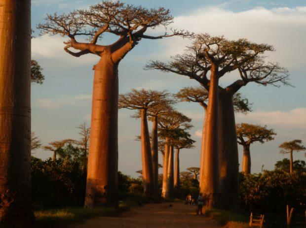 madagascar baobab avenue morondava