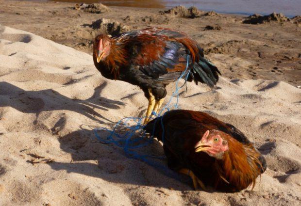 madagascar polli