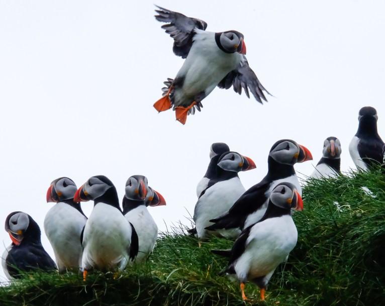 mikynes pulcinelle di mare puffin isole faroe