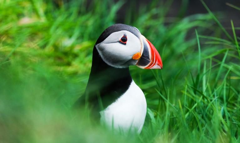 Isole Faroe: le pulcinelle di mare di Mykines