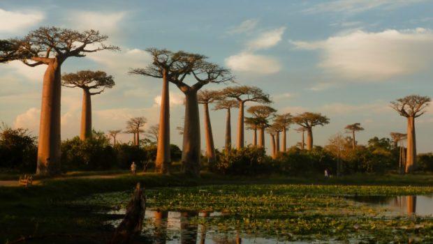 morondava baobab avenue madagascar