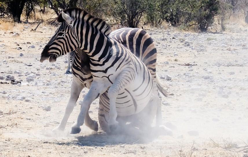 namibia etosha zebre