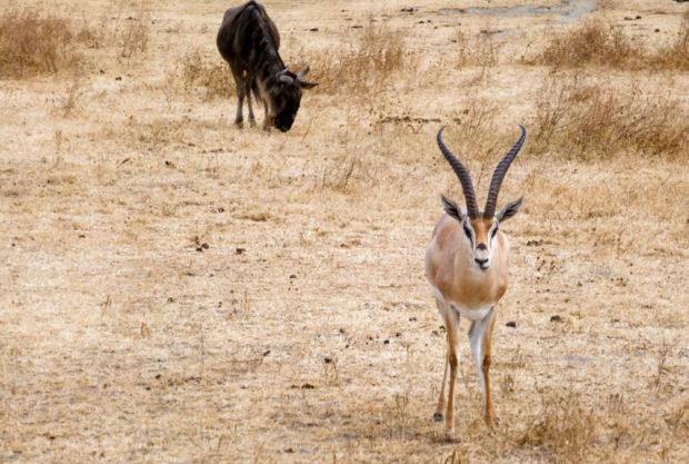 ngorongoro gazzella tanzania
