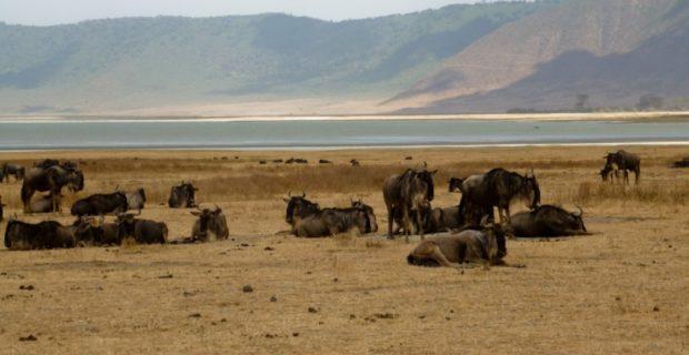 ngorongoro gnu tanzania