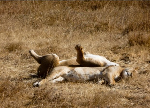 ngorongoro leoni tanzania