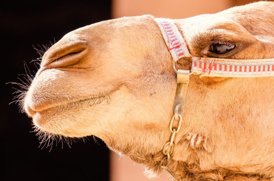 petra cammello giordania