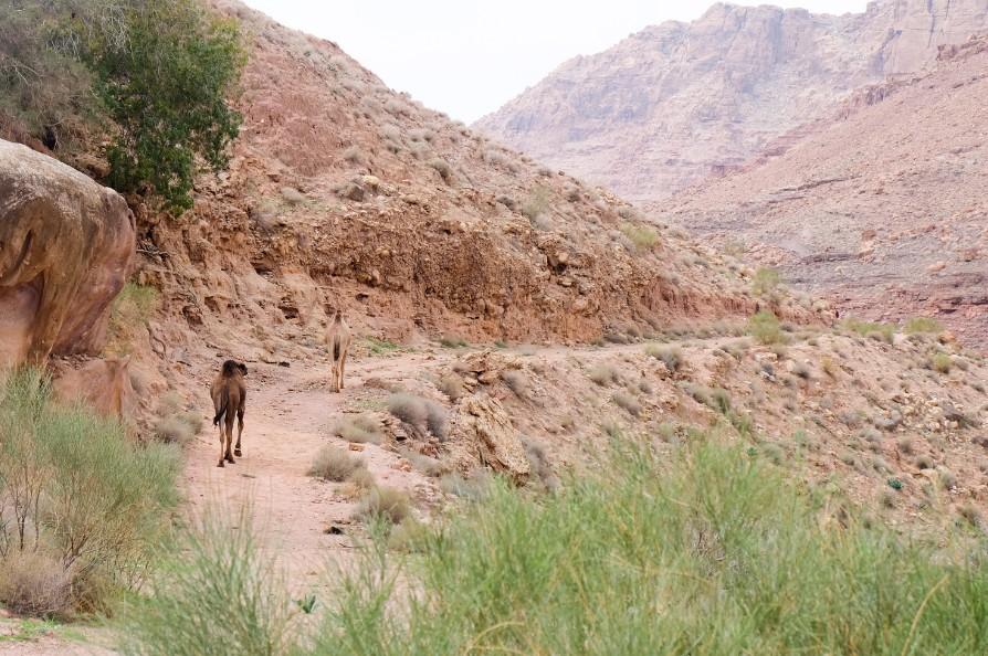 sentiero dana giordania trek cammelli