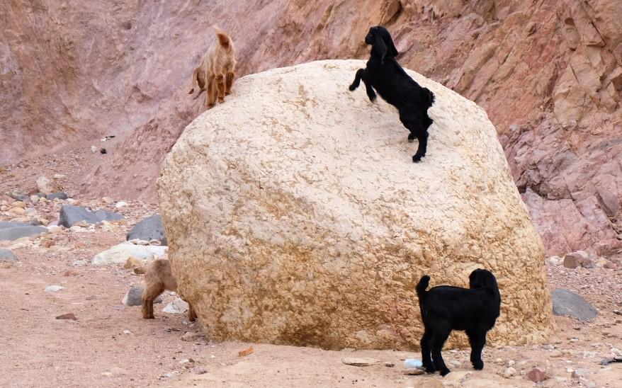 trek dana giordania capre