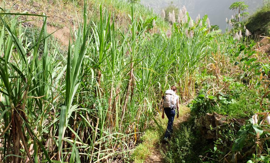 trekking espongeiro coculi canne da zucchero