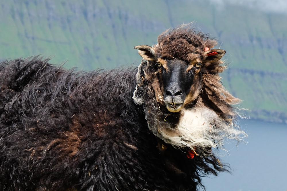 viaggio alle isole faroe diario pecora