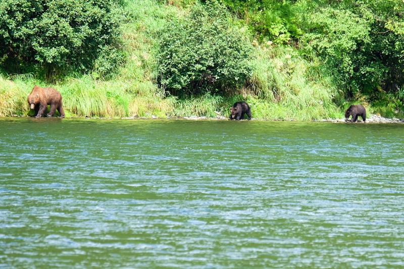 viaggio in Kamchatka orsi