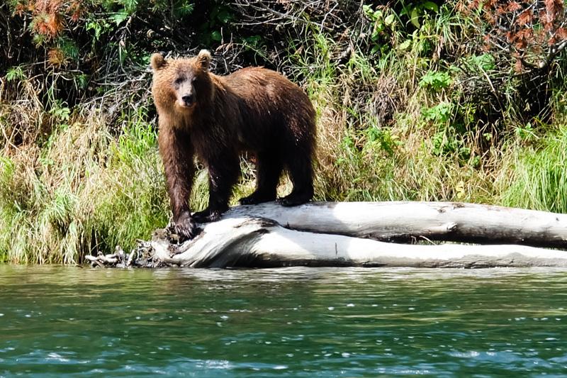 viaggio in Kamchatka orso bruno