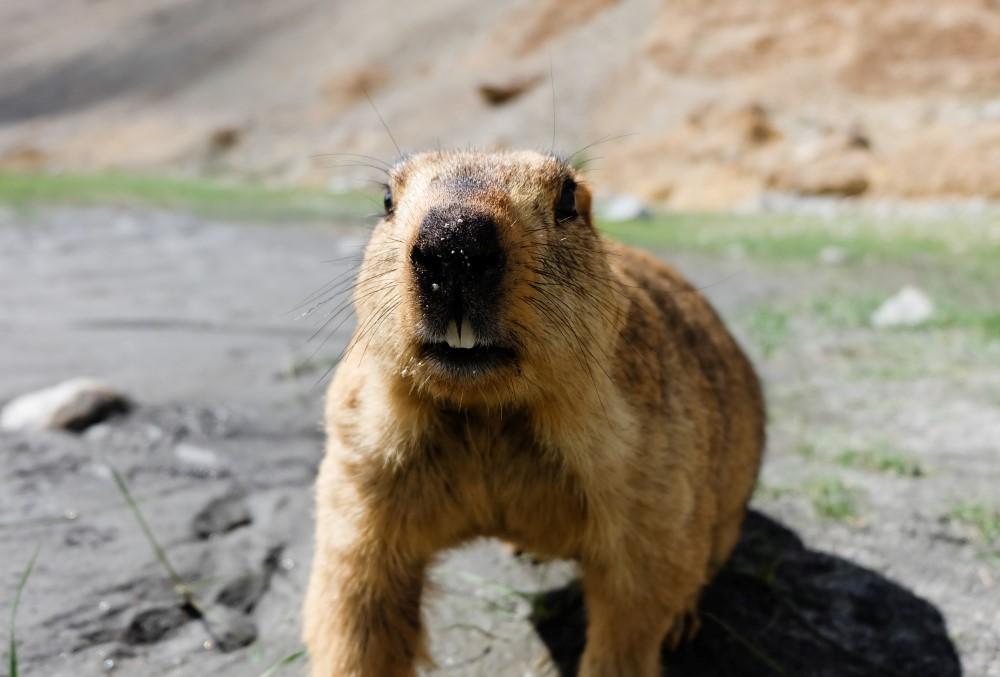 viaggio in ladakh marmotta