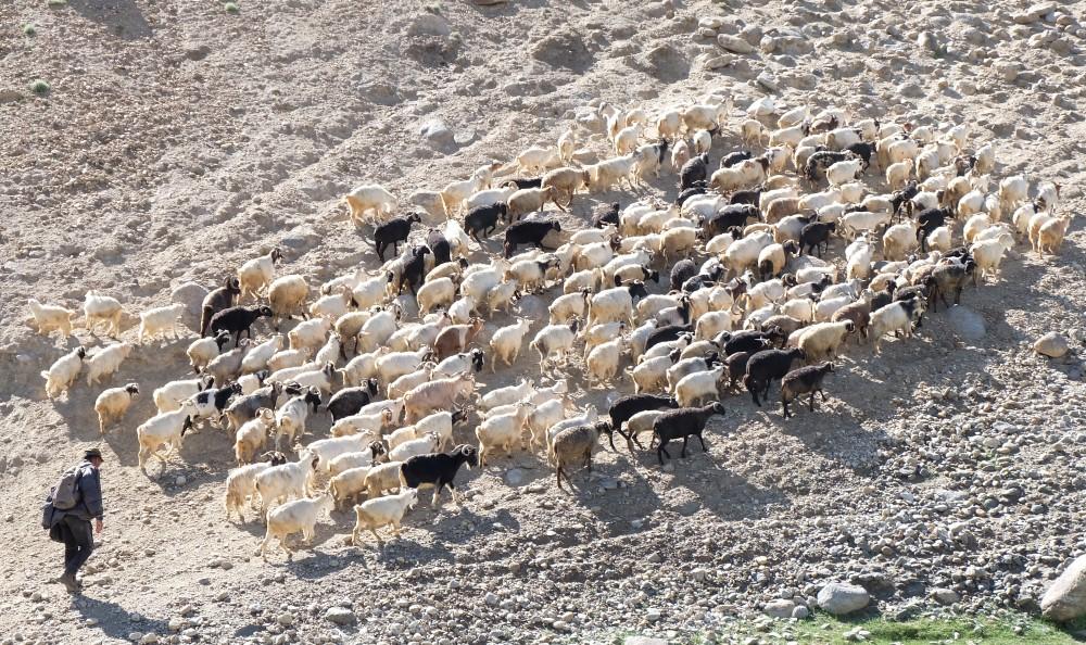 viaggio in ladakh pashmina capre